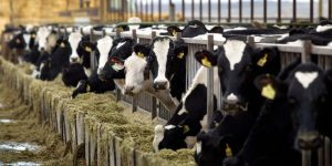 Another dairy succumbs to consent decree