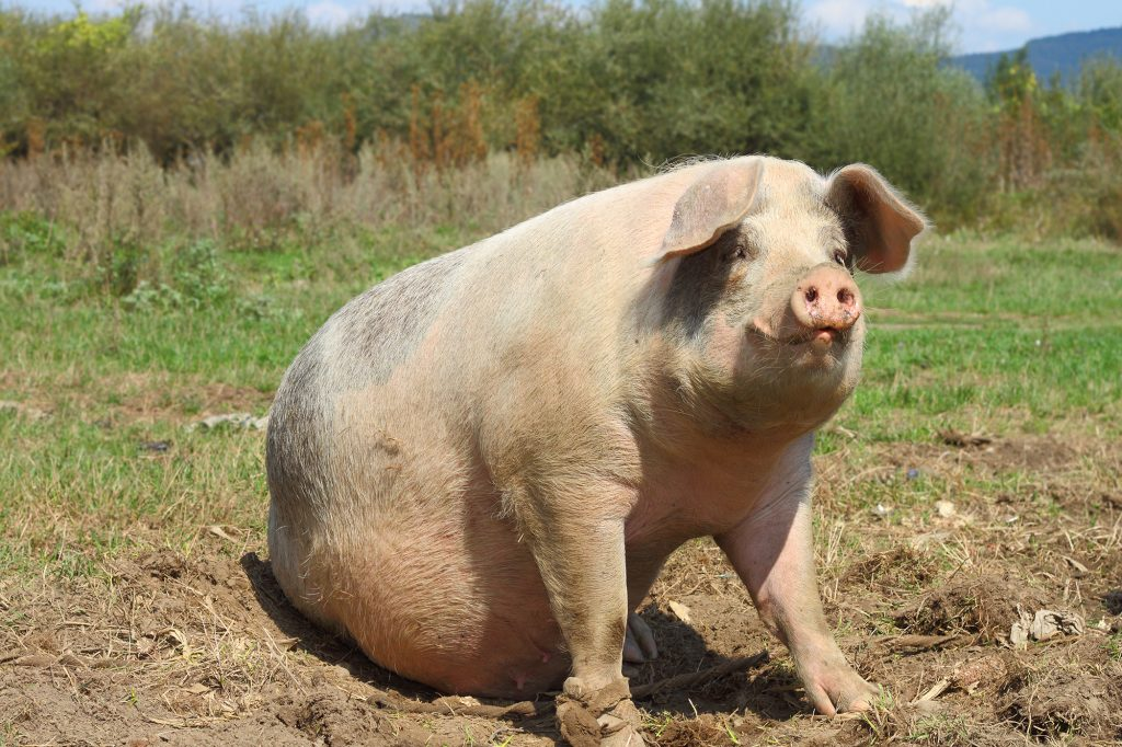 That $900 billion stimulus package includes pork – lots of it